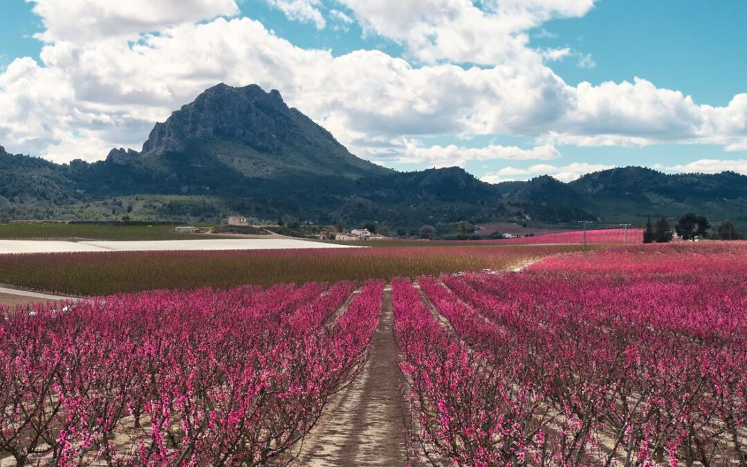 Murcia landscape pink with peach blossoms